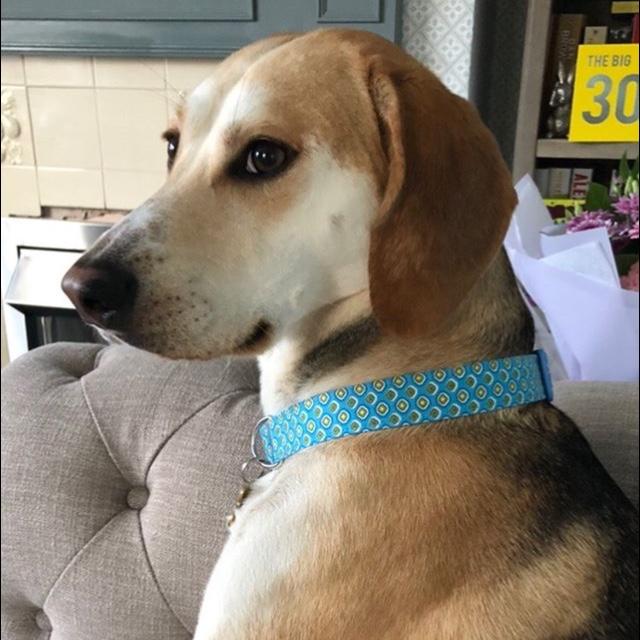 Bertie fabric dog collar